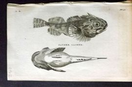 Pennant 1776 Antique Fish Print. Pather Lasher